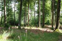 Buchen-Mischwald (Quelle: Forstamt Haardt)