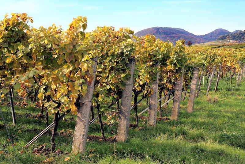 Aus der Kulturlandschaft der Pfalz nicht wegzudenken: Um den Wein dreht sich am Sonntag, 30. Juni, alles bei den Musikalischen Goetheparkplaudereien in Landau.