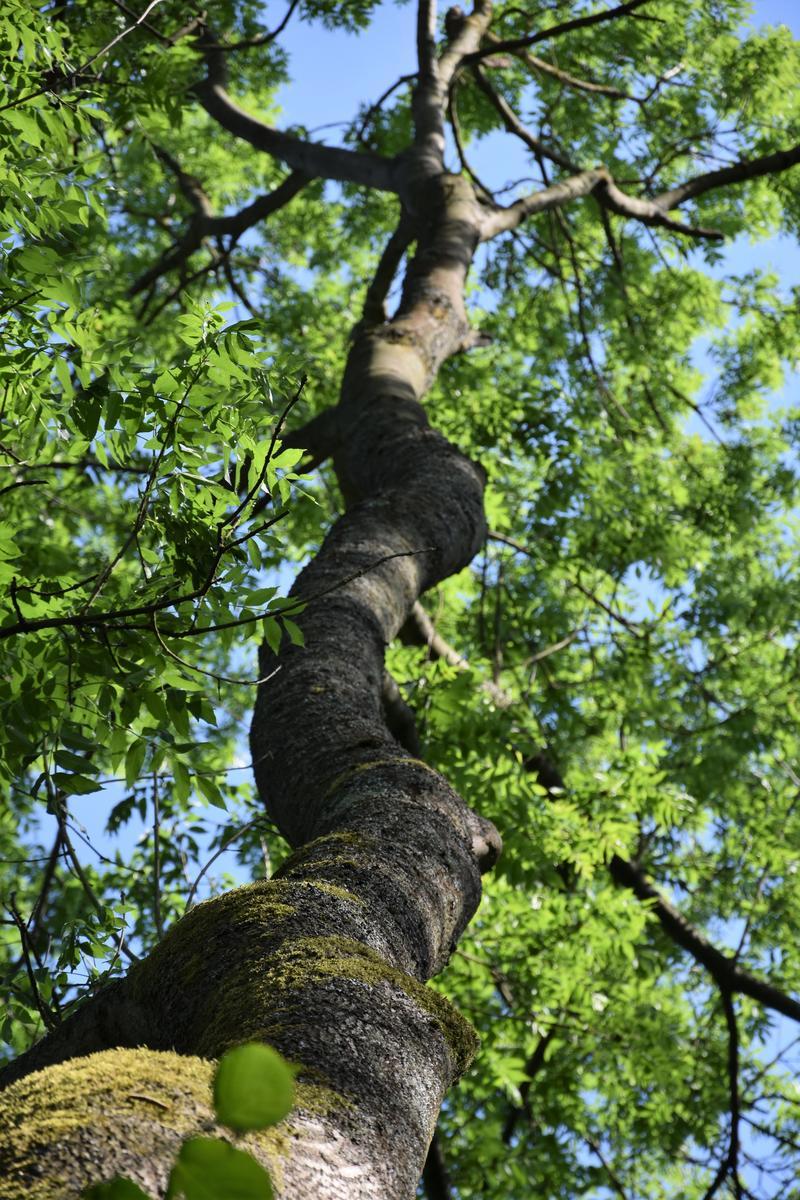 Schattenspender und Klimaregulatoren: Die Stadt Landau pflanzt im Herbst 230 Bäume nach.